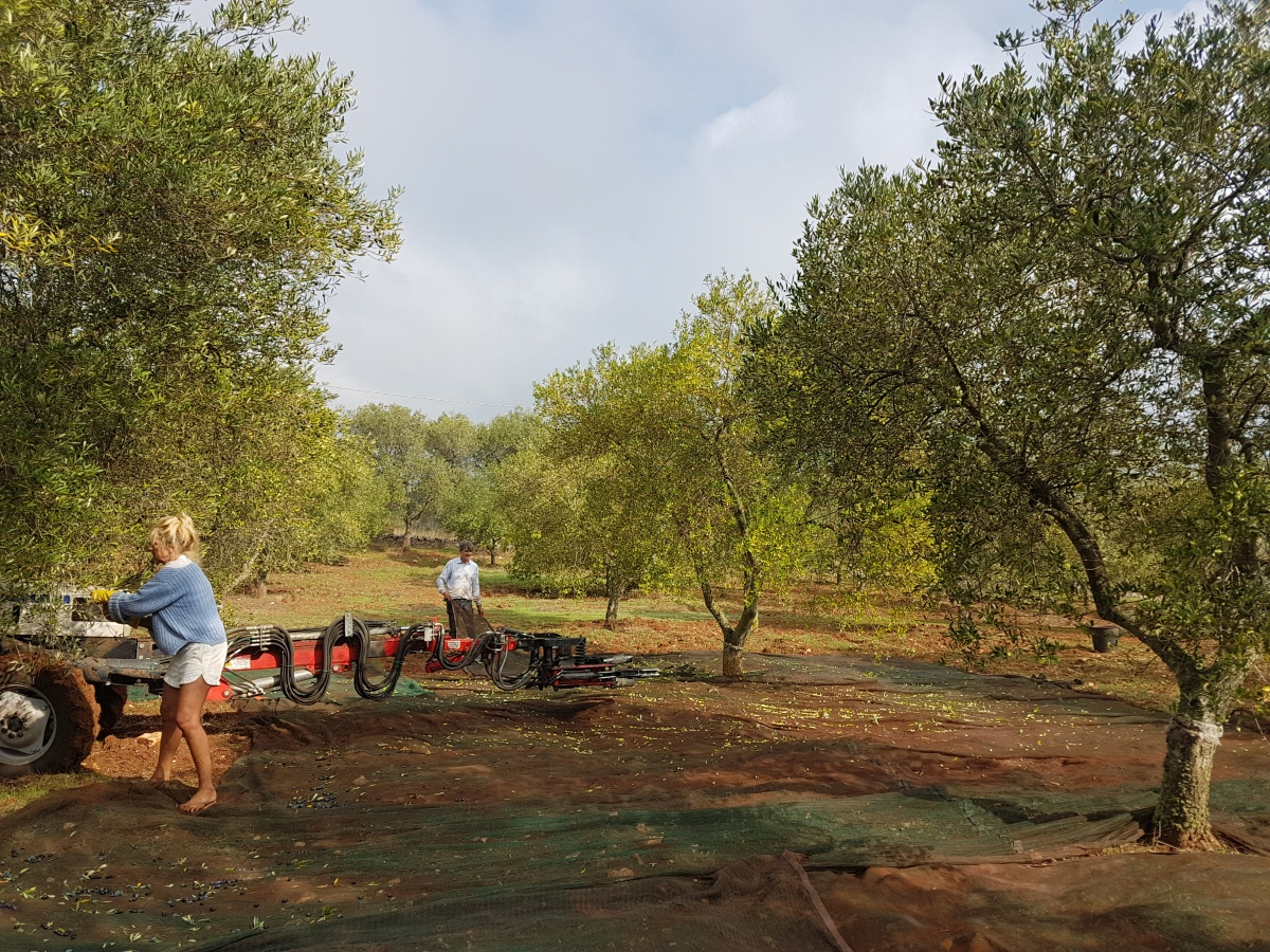 Week 40 - Picking Olives in Italy over the week-end